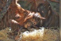 Giovane scimmia con la madre Fotografia Stock