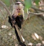 Giovane scimmia del capuchin nella giungla. Fotografie Stock