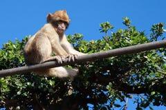 Giovane scimmia della Gibilterra immagine stock libera da diritti