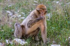 Giovane scimmia di Barbary femminile, sylvanus del Macaca, Marocco Fotografia Stock