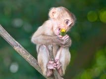 Giovane scimmia sola Fotografia Stock Libera da Diritti