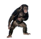 Giovane scimpanzè contro priorità bassa bianca Fotografia Stock