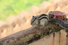 Giovane scoiattolo. Fotografia Stock