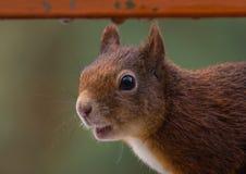 Giovane scoiattolo fotografie stock