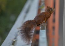 Giovane scoiattolo immagine stock
