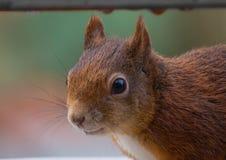 Giovane scoiattolo fotografia stock libera da diritti