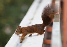 Giovane scoiattolo immagini stock