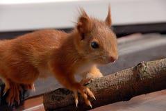 Giovane scoiattolo arrugginito Fotografia Stock