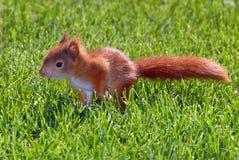 Giovane scoiattolo arrugginito-colorato Fotografie Stock Libere da Diritti