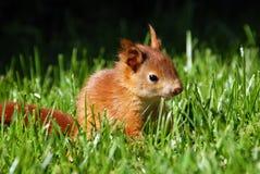 Giovane scoiattolo arrugginito-colorato Immagini Stock Libere da Diritti