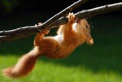 Giovane scoiattolo arrugginito-colorato Fotografie Stock