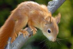 Giovane scoiattolo arrugginito-colorato Fotografia Stock Libera da Diritti