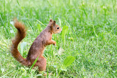 Giovane scoiattolo rosso con la coda lanuginosa che sta nell'erba fresca Immagini Stock Libere da Diritti