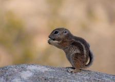 Giovane scoiattolo a terra Fotografie Stock
