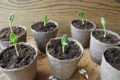 Giovane semenzale fresco Fotografie Stock