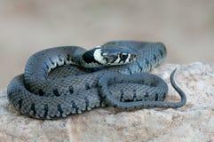 Giovane serpente di erba Fotografia Stock Libera da Diritti