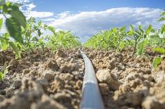 Giovane sistema dell'irrigazione a goccia delle piante di pomodori Vista del livello del suolo Fotografia Stock