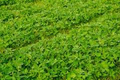 Giovane soia Bean Field, giacimento della soia dell'araucaria sull'azienda agricola Fotografie Stock