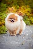 Giovane Spitz del cucciolo in autunno Fotografia Stock