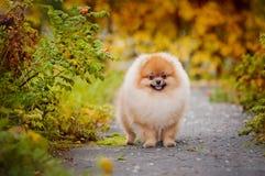 Giovane Spitz del cucciolo in autunno Immagine Stock Libera da Diritti