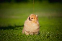 Giovane Spitz del cucciolo che si siede sull'erba Fotografie Stock