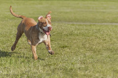 Giovane Staffordshire Terrier americano Immagini Stock