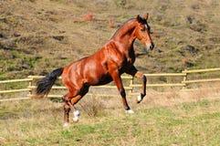 Giovane stallion della baia in recinto chiuso Immagini Stock