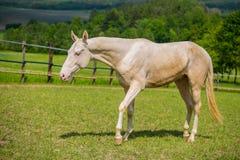 Giovane stallone bianco del cavallo di Akhal Teke immagine stock libera da diritti