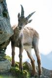 Giovane stambecco alpino (lat. Stambecco del Capra) Immagine Stock Libera da Diritti