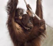 Giovane ` sveglio di Hangin dell'orangutan fuori con la mamma Fotografia Stock