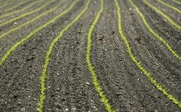 Giovane sviluppo di cereale Fotografia Stock