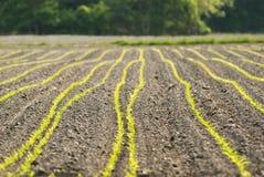 Giovane sviluppo di cereale Fotografie Stock Libere da Diritti