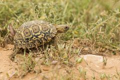 Giovane tartaruga del leopardo Immagine Stock