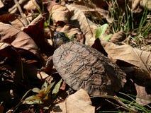 Giovane tartaruga di legno 05 Fotografie Stock Libere da Diritti