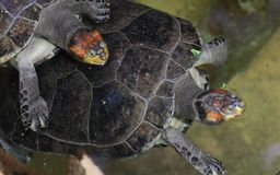 Giovane tartaruga di mare verde sulla spiaggia fotografia stock