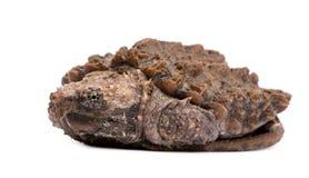 Giovane tartaruga di schiocco del coccodrillo - temm di Macrochelys Immagini Stock Libere da Diritti