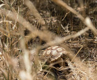 Giovane tartaruga di Sulcata Immagini Stock Libere da Diritti