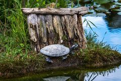 Giovane tartaruga sulla spiaggia Fotografia Stock
