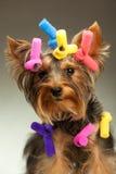 Giovane Terrier di Yorkshire Fotografia Stock Libera da Diritti