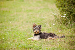 Giovane terrier di Yorshire Fotografie Stock Libere da Diritti