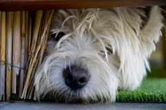 Giovane terrier sotto il bannister Fotografie Stock