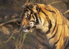 Giovane tigre Fotografia Stock