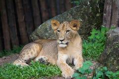 Giovane tigre Fotografie Stock Libere da Diritti