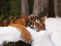 Giovane tigre dell'Amur del siberiano che ha resto - altaica del Tigri della panthera Immagine Stock