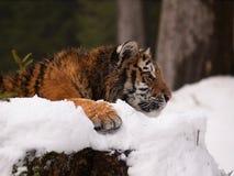 Giovane tigre dell'Amur del siberiano che ha resto - altaica del Tigri della panthera Immagine Stock Libera da Diritti