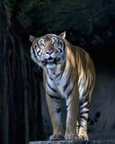 Giovane tigre di sumatran che sta davanti alla caverna Fotografia Stock