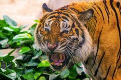 Giovane tigre siberiana nell'azione fotografia stock libera da diritti