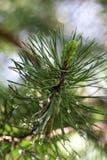 Giovane tiro del pino, ramo del pino dopo la pioggia Bokeh, macro fotografia stock libera da diritti