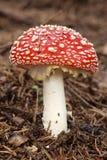 Giovane toadstool rosso Fotografia Stock Libera da Diritti