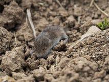 Giovane topo del bambino che si trova su una terra fotografie stock